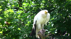 White Scavenger Vulture Stock Footage