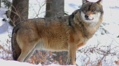 4K footage of a Gray (or Grey) Wolf (Canis lupus) Stock Footage