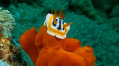 Dorid Nudibranch Stock Footage