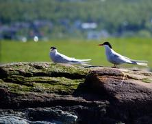 Arctic tern birds standing on big boulder Stock Photos