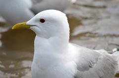 beautiful white seagull close up head photo - stock photo