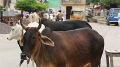 Sacred Indian cows are standing in the middle of the street of Indian town. Stock Footage