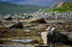 Arctic tern couple on sea shore boulder in summer Stock Photos