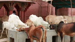 Indian Sacred animals cows eat feed from the trough at the walls of the temple. Stock Footage