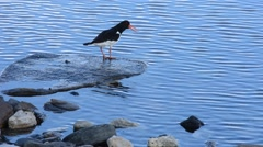 oystercatcher bird sitting beside blue fjord on rock singing - stock footage