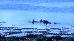 duck flock with offspring swimming in summer fjord - stock footage