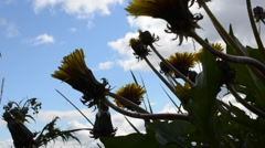 Coltsfoot flower on blue summer sky Stock Footage