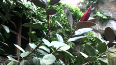 Rubber plant in tropical garden environment Stock Footage