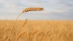 Wheat ear in meadow. Stock Footage
