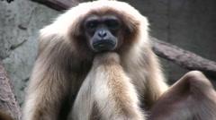Lar Gibbon facing camera medium shot Stock Footage
