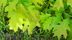 Stock Video Footage of Lush, fresh green foliage of northern red oak tree blown by wind