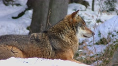 4K footage of a Gray (or Grey) Wolf (Canis lupus) sitting in the snow Stock Footage