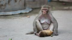 Monkey with her baby on the street of Indian town. Stock Footage