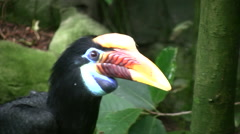 Knobbed Hornbill zoom in Stock Footage