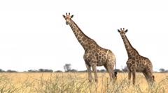 Giraffa camelopardalis grazing Etosha national Park Stock Footage