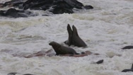 Stock Video Footage of huge colony of Brown fur seal - sea lions in Namibia