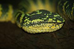 Oriental whip snake, green viper Stock Photos