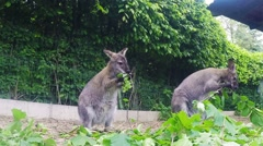 Grazzing Red-necked Wallaby (Macropus rufogriseus) Stock Footage