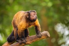 Brown capuchin monkey among the trees. - stock photo