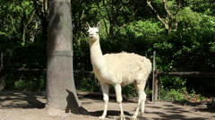 Alpaca standing under tree and looking around - stock footage