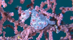 Pink Pygmy seahorse Stock Footage