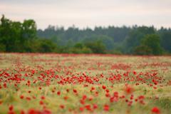 Poppy flower field during summer Stock Photos