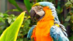 4K Macaw Parrot Close Up, Jungle Foliage on Perch Stock Footage