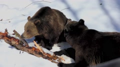 4K footage of two Brown Bears (Ursus arctos) playing in the snow Stock Footage