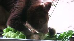 Matschie's Tree Kangaroo close up of head Stock Footage