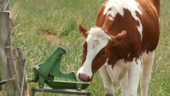 Stock Video Footage of cow drinking at trough 4k UHD