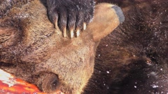 4K footage of a Brown Bear (Ursus arctos) in the snow Stock Footage