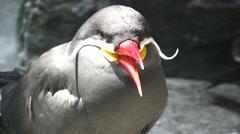Inca Tern close up shot Stock Footage