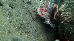 Lionfish (pterois) on coral reef Bali. Stock Footage