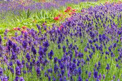 Summery flower bed with lavender and roses Stock Photos