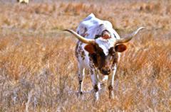 Longhorn Bull Stock Photos