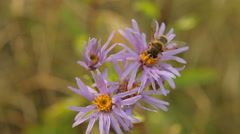Wild Aster (Aster amellus) and bee Stock Footage