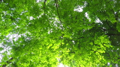 Deciduous Forest - stock footage