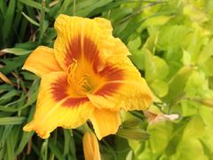 Yellow Iris Stock Photos