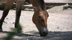 Przewalski horse medium close up Stock Footage