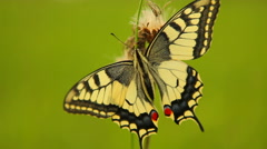 Swallowtail butterfly (Papilio machaon) - stock footage