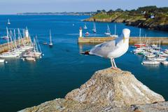 Seagull on the coast of the island of Belle Ile en Mer. France. - stock photo