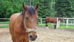 Budenny horse, close look. Stock Footage