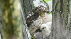 Cooper's hawk getting smacked by chick Stock Footage