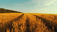 Run Through A Wheat Field 2 Stock Footage