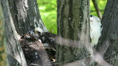 Cooper's hawk chicks in the nest Stock Footage