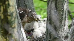 Cooper's hawk feeding chicks in nest Stock Footage