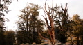 Bristlecone Pine and Clouds 05 Time Lapse Footage