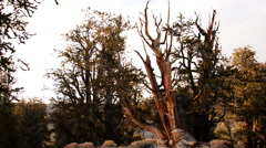 Bristlecone Pine and Clouds 05 Time Lapse - stock footage