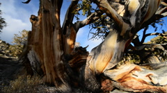 Bristlecone Pine and Clouds 06 - stock footage