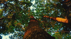 The Tree Foliage Looking Up 3 Stock Footage